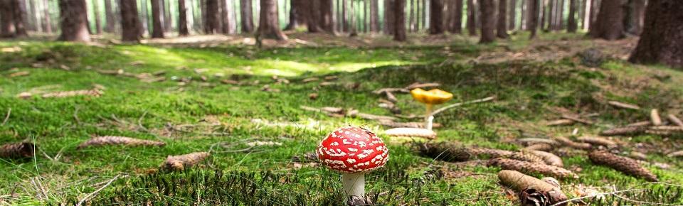 Funghi commestibili e funghi pericolosi, una guida